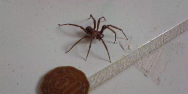 ¿Cómo saber si te mordió una araña violinista?