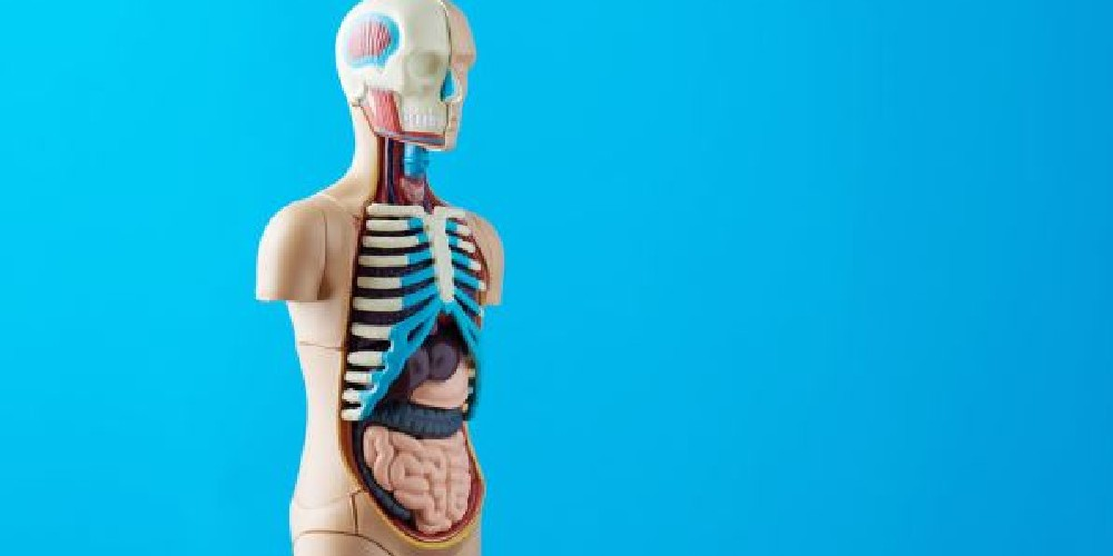 7 órganos que el cuerpo no necesita para vivir